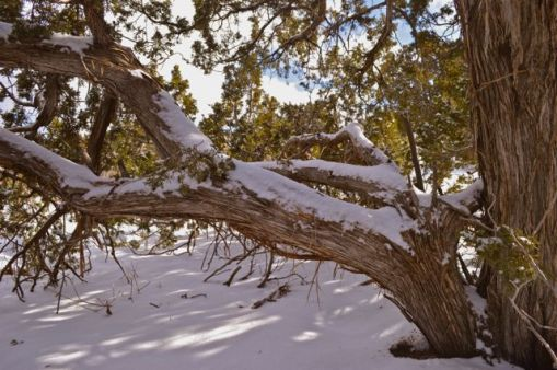 juniper in snow - Version 2