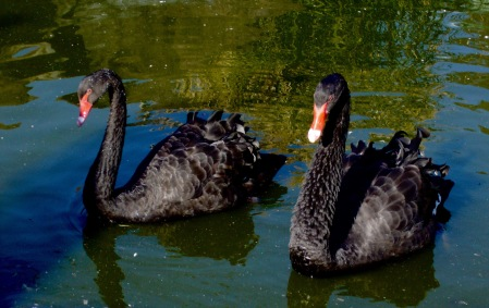 Black Swans – Version 2